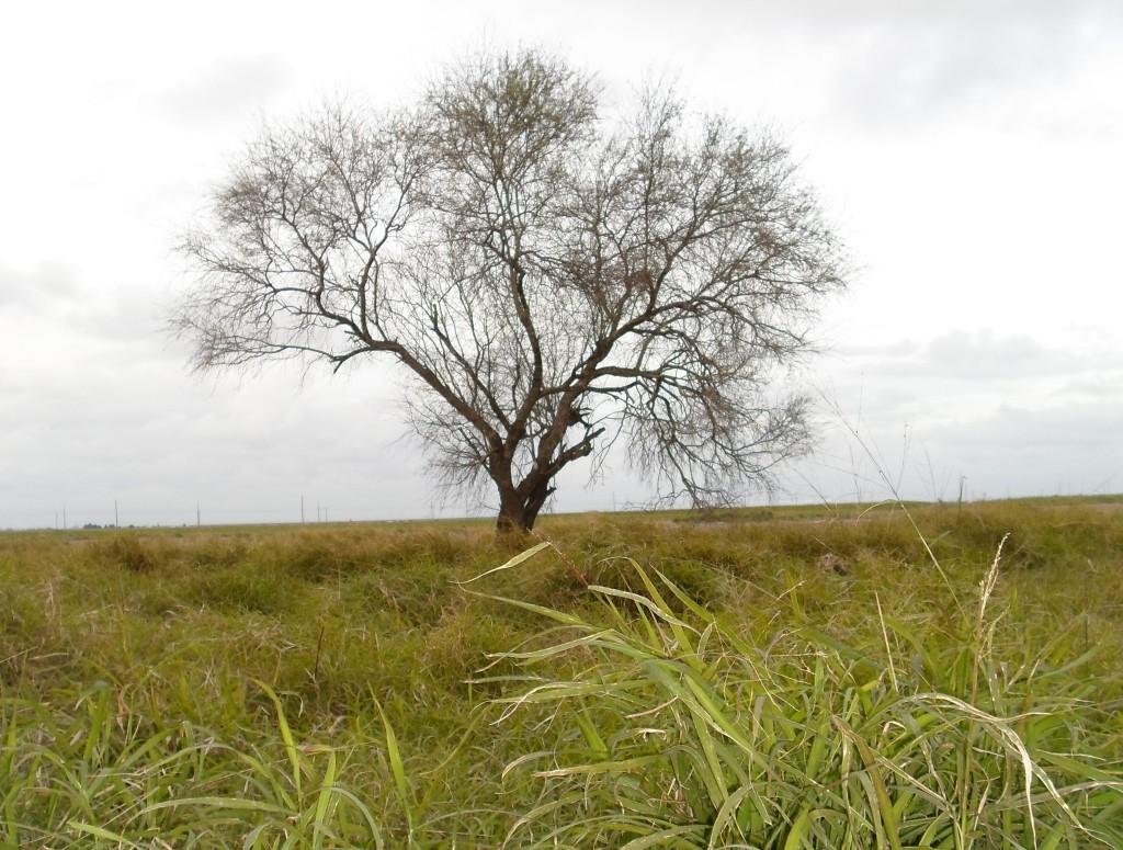 Texas Weeds 1